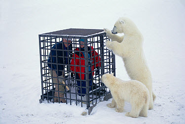 Polar Bear (Ursus maritimus) pair investigate tourists inside a cage, Churchill, Manitoba, Canada  -  Michio Hoshino