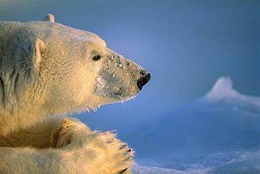 Polar Bear (Ursus maritimus) profile, Churchill, Manitoba, Canada  -  Michio Hoshino