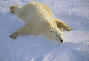 Polar Bear (Ursus maritimus) laying on stomach, Churchill, Manitoba, Canada  -  Michio Hoshino