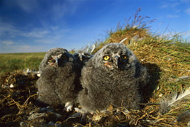 Snowy Owl (Nyctea scandiaca) chicks in tundra nest, Arctic National Widlife Refuge, Alaska  -  Michio Hoshino