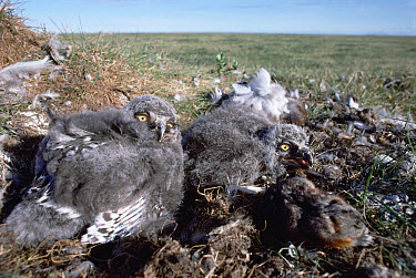 Snowy Owl (Nyctea scandiaca) chicks in tundra nest with dead mouse, Arctic National Wildlife Refuge, Alaska  -  Michio Hoshino