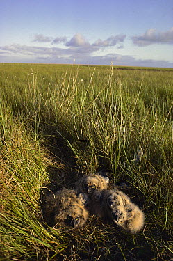 Short-eared Owl (Asio flammeus) chicks in down-lined tundra nest, Arctic National Wildlife Refuge, Alaska  -  Michio Hoshino