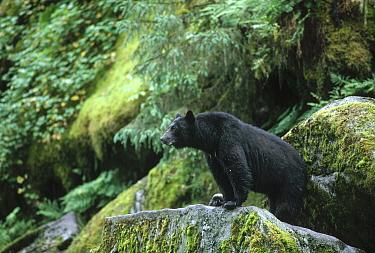Black Bear (Ursus americanus) on mossy rocks, Alaska  -  Michio Hoshino