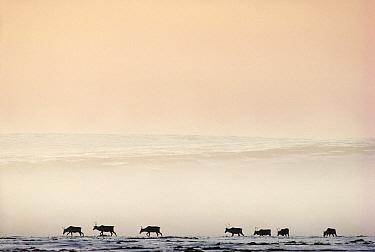 Caribou (Rangifer tarandus) herd crossing misty tundra during migration, Alaska  -  Michio Hoshino
