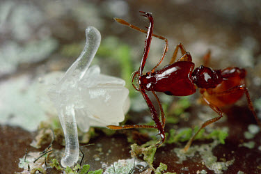 Trap-jaw Ant (Acanthognathus teledectus) worker approaches pupa to relocate nest, pupa's translucent arms will become mandibles, Costa Rica  -  Mark Moffett
