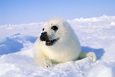 Harp Seal (Phoca groenlandicus) pup, Gulf of St Lawrence, Canada  -  Michio Hoshino