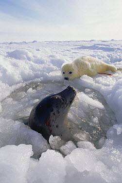 Harp Seal (Phoca groenlandicus) at breathing hole with newborn in background, Gulf of St Lawrence, Canada  -  Michio Hoshino