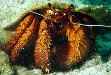 Hermit Crab, Hawaii  -  Flip Nicklin