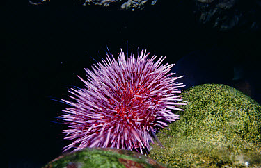 Purple Sea Urchin (Strongylocentrotus purpuratus) with tube feet extended into water to feed, California  -  Flip Nicklin