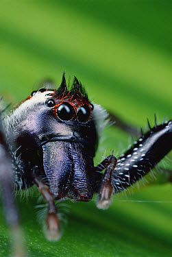 Northern Green Jumping Spider (Mopsus mormon) portrait, Australia  -  Mark Moffett