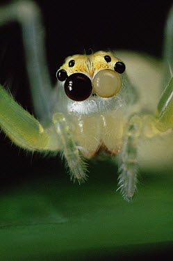 Jumping Spider portrait, color of eyes shows independent movement, sequence 1 of 3  -  Mark Moffett