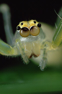 Jumping Spider portrait, color of eyes shows independent movement, sequence 2 of 3  -  Mark Moffett