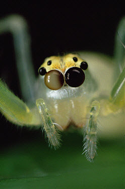 Jumping Spider portrait, color of eyes shows independent movement, sequence 3 of 3  -  Mark Moffett