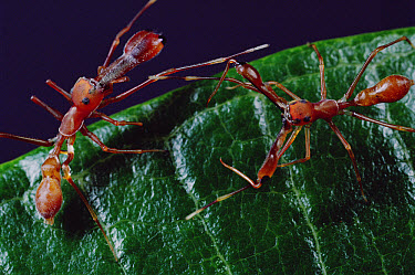 Kerengga Ant-like Jumper (Myrmarachne plataleoides) males fight showing elongated jaws ending in fangs which are usually sheathed, Sri Lanka  -  Mark Moffett
