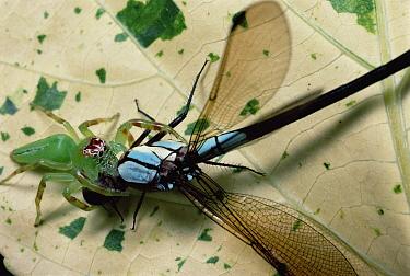 Northern Green Jumping Spider (Mopsus mormon) female strikes a Damselfly, Australia  -  Mark Moffett