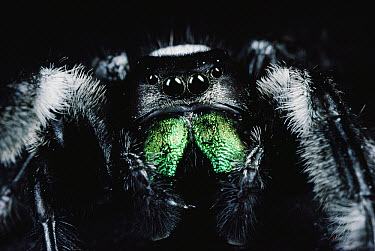 Jumping Spider portrait, Florida  -  Mark Moffett