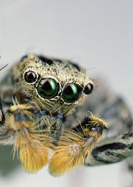 Jumping Spider (Maevia sp) male portrait, North America  -  Mark Moffett