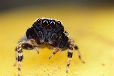 Jumping Spider portrait, Singapore  -  Mark Moffett