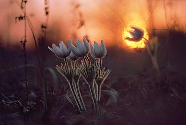 Pasque Flower (Pulsatilla sp) group growing on prairie at sunset, Minnesota  -  Jim Brandenburg