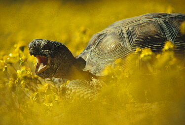 Desert Tortoise (Gopherus agassizii) in a field of yellow flowers, Mojave Desert, California