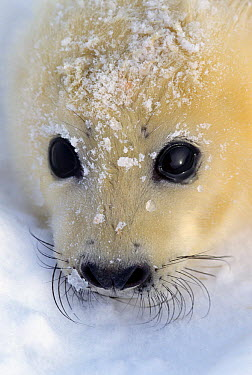Harp Seal (Phoca groenlandicus) pup portrait, Gulf of St Lawrence, Canada  -  Michio Hoshino