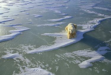Polar Bear (Ursus maritimus) resting on icefield, Churchill, Manitoba, Canada  -  Michio Hoshino