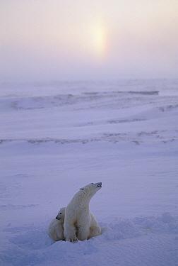 Polar Bear (Ursus maritimus) mother and cub, with sundog in sky, Churchill, Manitoba, Canada  -  Michio Hoshino
