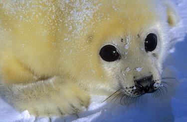 Harp Seal (Phoca groenlandicus) portrait, Gulf of St Lawrence, Canada  -  Michio Hoshino