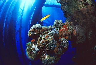 Coral growing on oil rig, Flower Garden Banks National Marine Sanctuary, Texas  -  Flip  Nicklin
