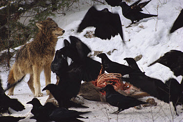 Timber Wolf (Canis lupus) and Common Raven (Corvus corax) group feeding on deer carcass in snow, Minnesota  -  Jim Brandenburg