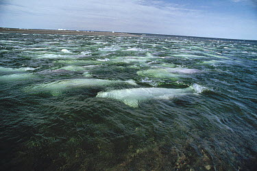 Beluga (Delphinapterus leucas) whale, group swimming and molting in freshwater shallows, Somerset Island, Nunavut, Canada  -  Flip Nicklin