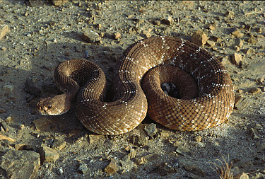 Red Rattlesnake (Crotalus ruber) coiled on ground, Baja California, Mexico  -  Larry Minden