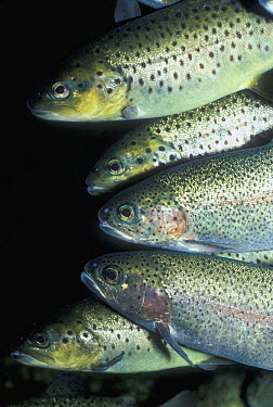 Speckled Trout (Cynoscion nebulosus) group, a popular sport fish, occurring in the west Atlantic to the Gulf of Mexico  -  Larry Minden