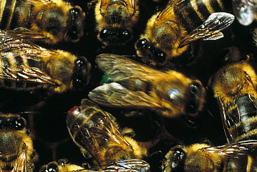 Honey Bee (Apis mellifera) group gather around dancing bee to learn of nectar sources, Wurzburg, West Germany  -  Mark Moffett