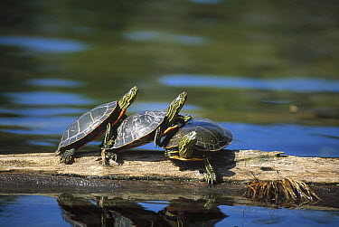 Painted Turtle (Chrysemys picta) trio sunning on log, Minnesota  -  Jim Brandenburg
