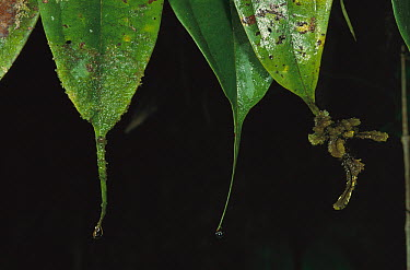 Droplets of water dripping off tapered leaves  -  Mark Moffett