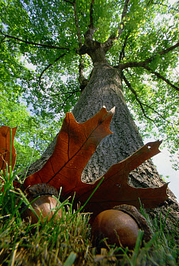 Northern Red Oak (Quercus rubra) tree with corns and leaves at base of it, Massachusetts  -  Mark Moffett