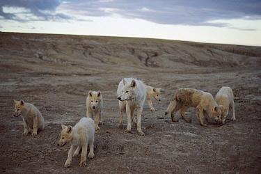 Arctic Wolf (Canis lupus) with six pups, Ellesmere Island, Nunavut, Canada  -  Jim Brandenburg