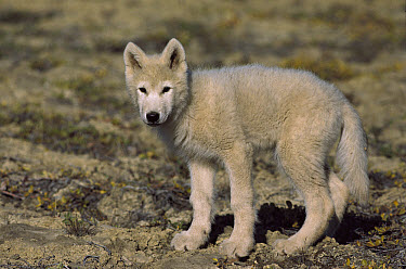 Arctic Wolf (Canis lupus) pup, Ellesmere Island, Nunavut, Canada  -  Jim Brandenburg