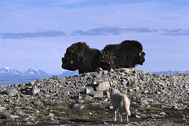 Arctic Wolf (Canis lupus) stalking Muskox (Ovibos moschatus) pair in defensive formation, Ellesmere Island, Nunavut, Canada  -  Jim Brandenburg