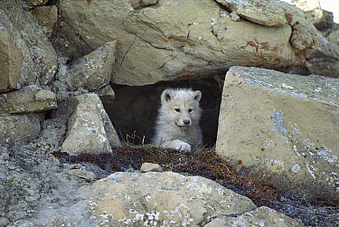 Arctic Wolf (Canis lupus) pup peering out from den, Ellesmere Island, Nunavut, Canada  -  Jim Brandenburg
