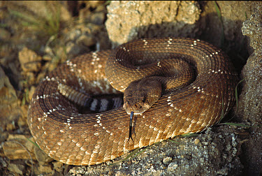 Red Rattlesnake (Crotalus ruber) sensing with its tongue, Baja California, Mexico  -  Larry Minden
