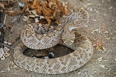 Speckled Rattlesnake (Crotalus mitchellii) coiled on ground, Mojave Desert, California  -  Larry Minden