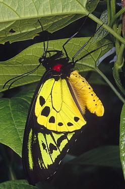 Poseidon Birdwing (Ornithoptera priamus poseidon) butterfly, male, Irian Jaya, New Guinea, Indonesia  -  Mark Moffett