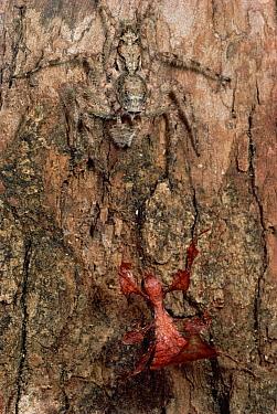 Bark-mimicking Jumping Spider camouflaged on tree bark waits in ambush for a Leaf-mimicking insect, Sri Lanka  -  Mark Moffett