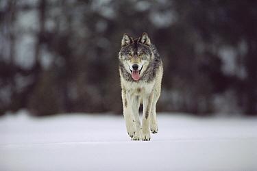 Timber Wolf (Canis lupus) walking, Northwoods, Minnesota  -  Jim Brandenburg
