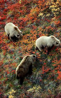 Grizzly Bear (Ursus arctos horribilis) trio foraging for berries, Alaska  -  Michio Hoshino