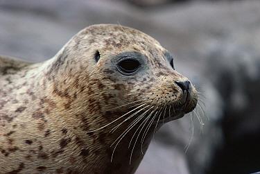 Harbor Seal (Phoca vitulina) portrait  -  Jim Brandenburg