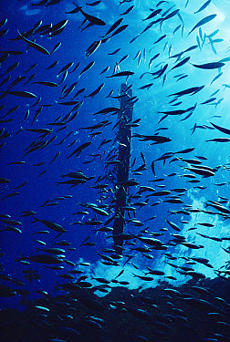 Life under a floating log, small fish aggregate in great numbers under ocean debris creating feeding opportunities for birds and dolphins, Cocos Island, Costa Rica  -  Flip Nicklin