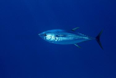 Yellowfin Tuna (Thunnus albacares) off of Cocos Island, Costa Rica  -  Flip Nicklin